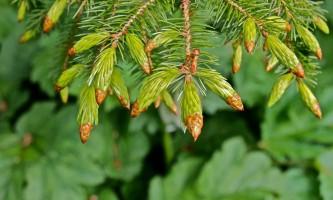Alaska species trees Sitka Spruce