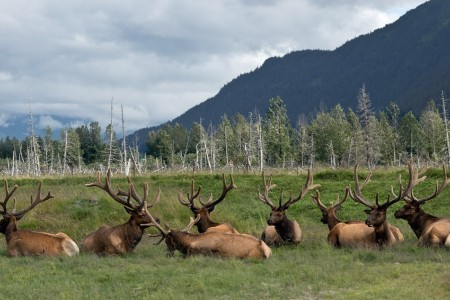 Alaska Moose03