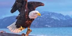 Eagle viewing spots alaska Homer Spit Bald Eagle Jeremiah Fisher Jeremiah Fisher