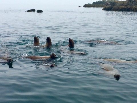 Sea lions    Lazy Otter Charters
