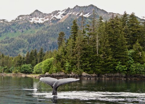 Humpback Whale in Prince William Sound