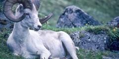 Rainbow Ridge Scenic View & Dall Sheep Viewing (mi 209.1)