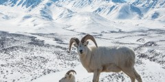 Dall Sheep & Goat Viewing at Bird Point Wayside (Penguin Ridge)