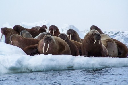 Alaska Walrus Haulouts