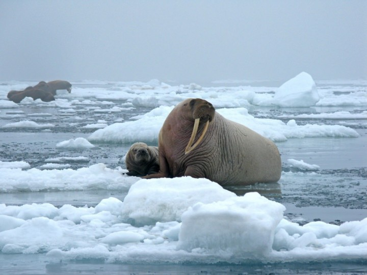 Alaskan Walrus in their natural habitat