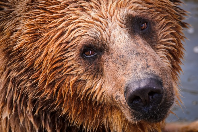 Bears Tambako from Flickr 01 mwn21l