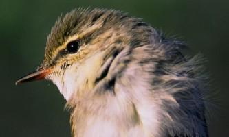 Bird_Species-20-mryhw0