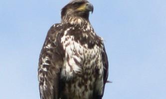 Bald_eagle-04-mknkog