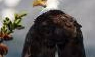 Chilkat_Bald_Eagle_Preserve-Eagle_in_Tree_copy-o4z8xh