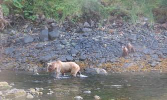 Shuyak island skinny spring bear and cubs shuyak island state park o19y0m