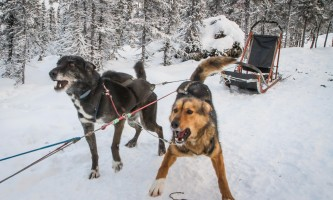 Black spruce dog sledding 11 17 13 0932 o164kg