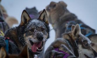 Black spruce dog sledding 11 17 13 0984 o164kp