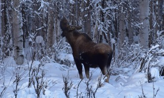 Snowmobiling moose5 p5hybc