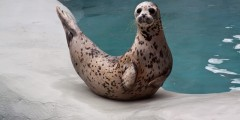 Harbor Seal / River Otter
