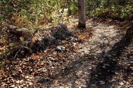 Uprooted Black Cottonwood Tree