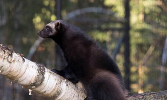 Alaska zoo 2016 john gomes Wolverine2 o6xlc7