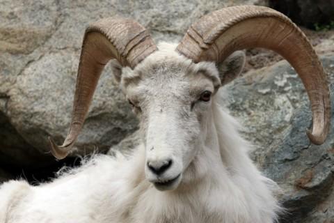 Sheep 26 Goat 02 mwj7o3