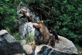 Bears Wolverine Creek 01 mwy2vh