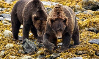 Bear_Viewing_at_Ultima_Thule-business_end-oklz21