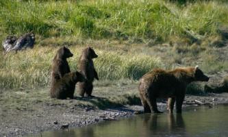 Bear-Camp-BEAR_AH-phucsc