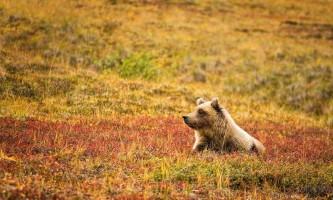 2018-52-Bear_in_Denali_National_Park-pdvqz8