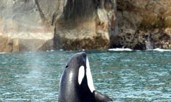 Alaska-Coast-To-Denali-Journey-43-Orca_Whale-pdvtgq