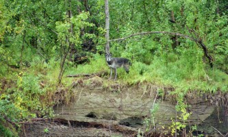 Aniak-air-guides-Wildlife-Wolf_on_River_Bank-pmesul