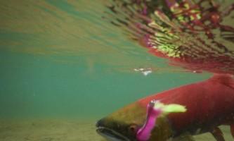 Aniak-air-guides-Fishing-_17_Underwater_Fish-pmesup