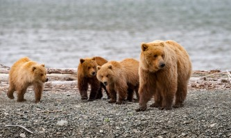 Alaska Air Service Bears Lake Clark beach bears