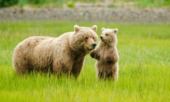 Alaska Air Service Bears Lake Clark Mom and Cub