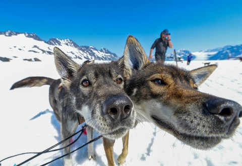 A close up on the faces of two sled dogs.