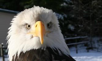 Alaska raptor center Adult bald eagle Sitka 2017