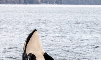 Alaska saltwater lodging spy hopping orca alaska saltwater lodging