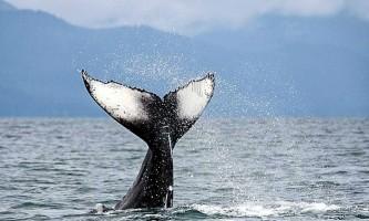 Whale watching adventure whale7 Alaska Travel Adventures
