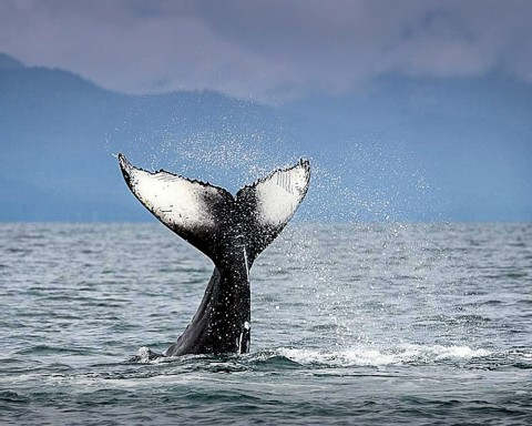 Humpback whales arrive in Juneau each summer to feed in the nutrient rich waters
