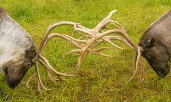 Alaska Wildlife Conservation Center AWCC 40882019