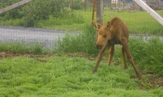 AK Wildlife Conservation Ctr Baby Moose 32019