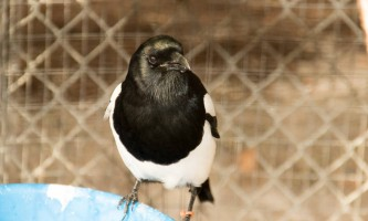 Alaska zoo 2016 john gomes Black billed Magpie2019