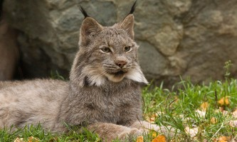 Alaska zoo 2016 john gomes Canada Lynx22019