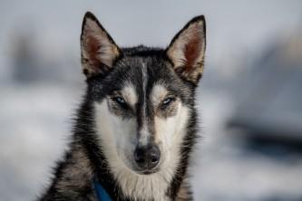 Alpine air dog sledding Alpine Air Dog Sledding Husky Portrait PC Taylor Hutchins2019