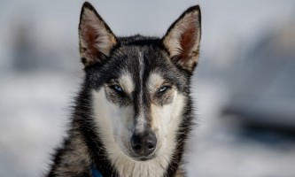 Alpine air dog sledding Alpine Air Dog Sledding Husky Portrait PC Taylor Hutchins2019