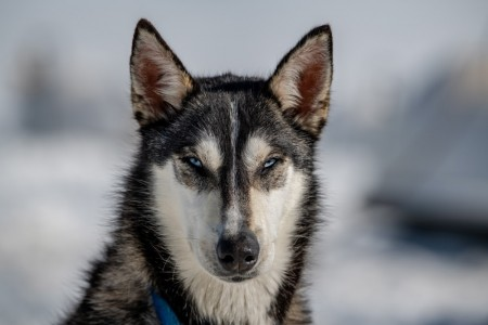Alpine Air Alaska – Seward Dog Sledding