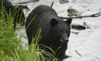 Alaska black bear wildlife exploration ketchikan Bear Country Wildlife Expedition 8 alaska rainforest sanctuary bear country wildlife expedition