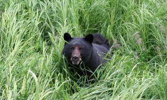 Alaska black bear wildlife exploration ketchikan Rainforest Sanctuary 5 alaska rainforest sanctuary bear country wildlife expedition