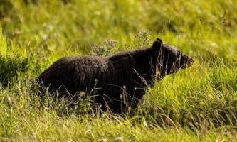 Alaska black bear wildlife exploration ketchikan bear for karen 16 alaska rainforest sanctuary bear country wildlife expedition