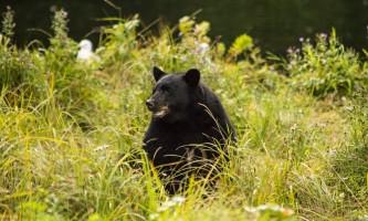 Alaska black bear wildlife exploration ketchikan bear for karen 17 alaska rainforest sanctuary bear country wildlife expedition