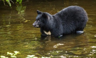 Alaska black bear wildlife exploration ketchikan bear for karen 13 alaska rainforest sanctuary bear country wildlife expedition