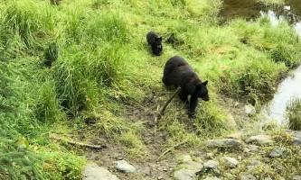 Alaska black bear wildlife exploration ketchikan ARS Bear Momma Cub black bear wildlife exploration
