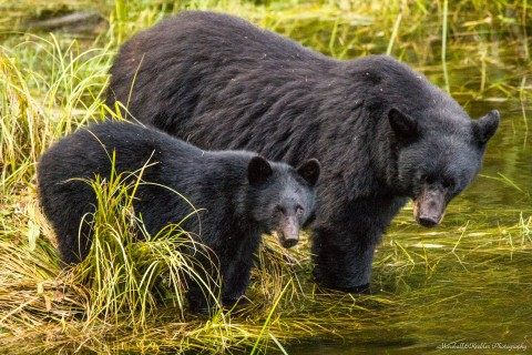A mama black bear and her cub.