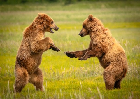 Bears do mini migrations throughout the summer, but your guide always knows where to find them